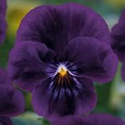Viola 'Volante Purple' - 5 Viola plug plants