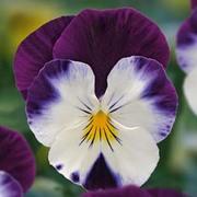 Viola 'Volante Purple Face' - 5 Viola plug plants
