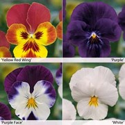 Viola 'Volante' Collection - 20 Viola plug plants - 5 of each variety