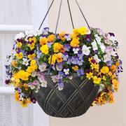 Viola 'Teardrops' (Pre-Planted Basket) - 1 viola pre-planted basket with 6 plants