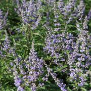 Vitex agnus-castus f. latifolia (Large Plant) - 1 x 3.6 litre potted vitex plant