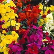 Wallflower 'Most Scented' Mix - 36 wallflower plug plants