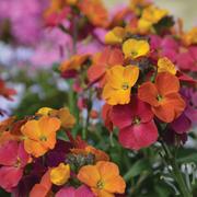Wallflower 'Winter Party' - 12 wallflower jumbo plug plants