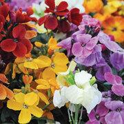Wallflower 'Dwarf Scented Mixed' - 20 bare root wallflower plants