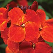 Wallflower 'Sunset Orange' - 36 wallflower plug plants