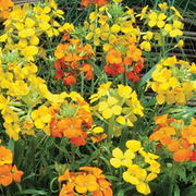 Wallflower 'Citrona Mixed' - 24 wallflower plug plants