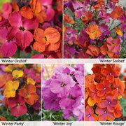 Wallflower Winter Collection - 5 wallflower jumbo plug plants - 1 of each variety