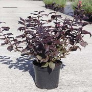 Weigela florida 'Midnight Wine' (Large Plant) - 1 x 3.5 litre potted plant