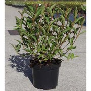 Weigela 'Nain Rouge' (Large Plant) - 1 x 3.5 litre potted weigela plant