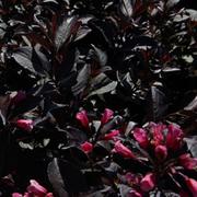 Weigela florida 'Alexandra' (Large Plant) - 1 x 3.6 litre potted weigela plant