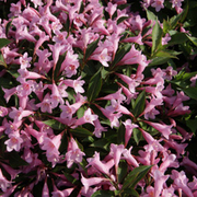 Weigela florida 'Pink Poppet' (Large Plant) - 1 x 3.6 litre potted weigela plant