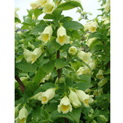 Weigela middendorffiana (Large Plant) - 1 x 3.6 litre potted weigela plant