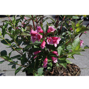 Weigela 'Minuet' (Large Plant) - 1 x 3.6 litre potted weigela plant