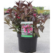 Weigela 'Naomi Campbell' (Large Plant) - 1 x 3.6 litre potted weigela plant