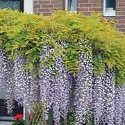Wisteria sinensis (Patio Standard) - 1 x 3 litre potted wisteria plant