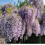 Wisteria sinensis 'Prolific' (Large Plant) - 1 x 2 litre potted wisteria plant