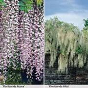 Wisteria floribunda Duo - 2 x 7cm potted wisteria plants