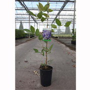 Wisteria macrostachya 'Blue Moon' - 1 x 3 litre potted wisteria plant
