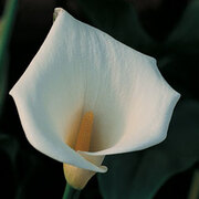 Arum Lily - 1 packet (20 arum seeds)