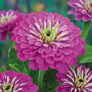 Zinnia elegans 'Purple Prince' - 1 packet (100 zinnia seeds)
