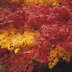 Acer 'Autumn Coloured Hybrids Mixed'