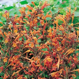 Agastache aurantiaca 'Apricot Sprite'