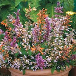 Agastache aurantiaca 'Fragrant Mixed'