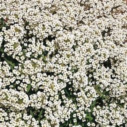 Alyssum 'Carpet Of Snow'