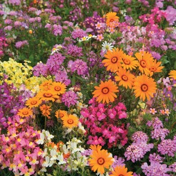 Easy Annuals 'Fairy Mixed'