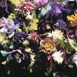 Aquilegia x hybrida 'Crown Jewels Mixed'
