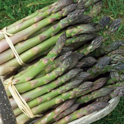 Asparagus officinalis 'Martha Washington'
