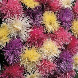 Aster 'Spider Chrysanthemum Mixed'