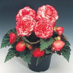 Begonia x tuberhybrida 'Nonstop® Rose Petticoat' F1 Hybrid