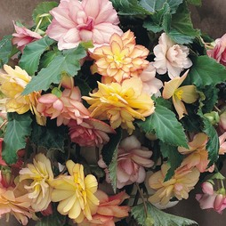 Begonia x tuberhybrida 'Show Angels Mixed' F1 Hybrid