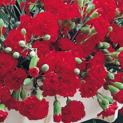 Dianthus caryophyllus 'Trailing Carnations Mixed'
