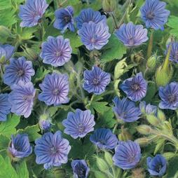 Geranium bohemicum 'Orchid Blue'