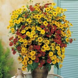 Helenium autumnale 'Sunshine Hybrids'
