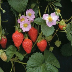 Strawberry 'Florian' F1 Hybrid (Everbearer/ All season)