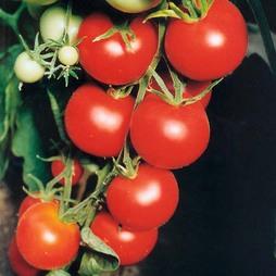 Tomato 'Tamina'