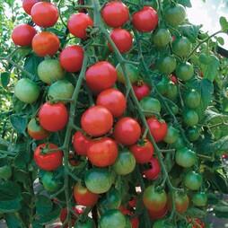 Tomato 'Cherrola' F1 Hybrid - RHS endorsed vegetable seeds