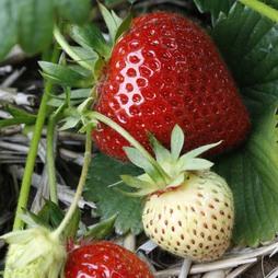 Strawberry 'Elegance' (Mid Season)
