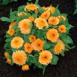 Calendula officinalis nana 'Apricot Twist'