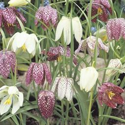 Fritillaria meleagris (Mixed)