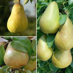 Pear 'Family Pear Tree'