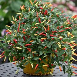 Chilli Pepper 'Basket of Fire' F1