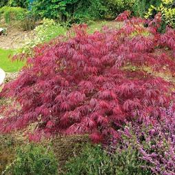 Acer palmatum var. dissectum 'Rubrum'