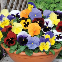 Pansy 'Most Scented Mix'