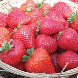 Strawberry 'Buddy' (Everbearer/ All Season)