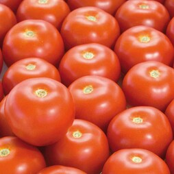 Tomato 'Satyna' F1 Hybrid - SowStrong® Collection