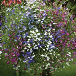 Lobelia 'Cascade Improved Mixed' (Garden Ready)
